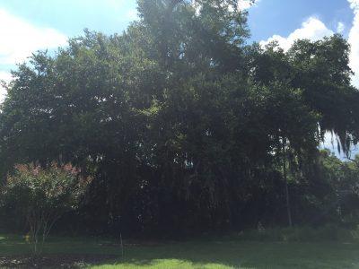 Van Buren Oak